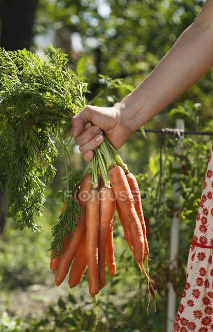 Immagine potata di metà di donna adulta che tiene il mazzo di carote in giardino — Foto stock