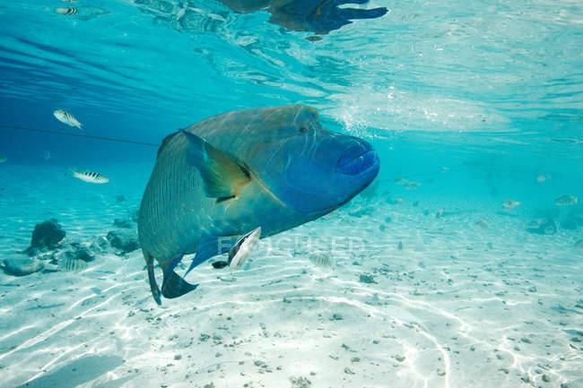 Napoleon Lippfisch Fische schwimmen unter Wasser — Stockfoto