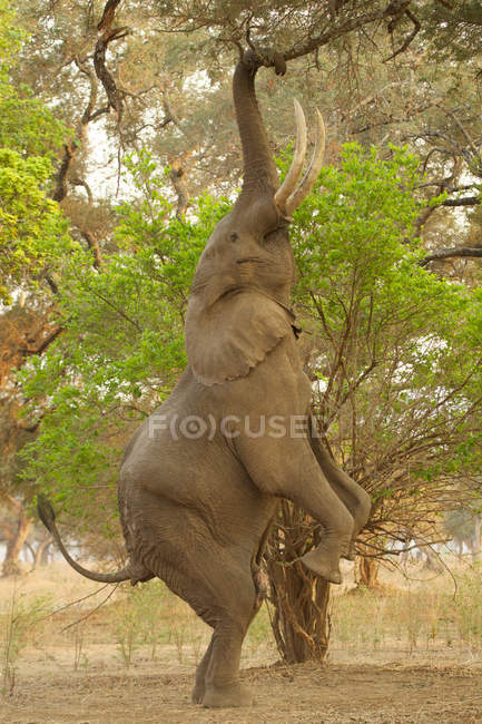 Elephant reaching to branches — Stock Photo