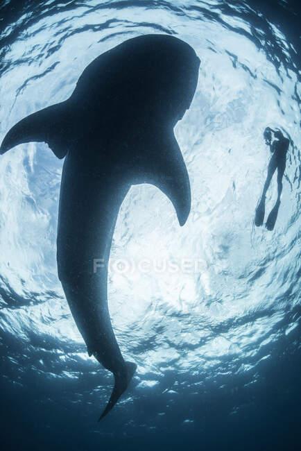 Вид снизу на сноркеллера с большой акулой (носорогом), остров Кохель, Мексика — стоковое фото