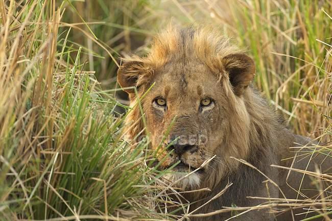 Leone maschio che osserva dall'erba alta nel Parco Nazionale delle Piscine di Mana, Zimbabwe — Foto stock