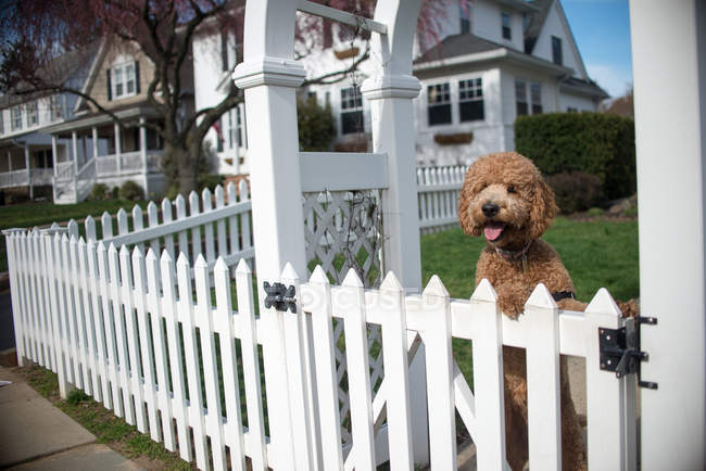 Cute Dog looking out from white garden fence — Stock Photo