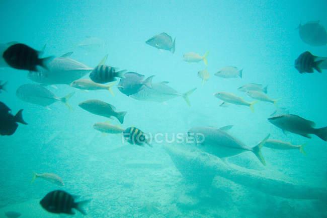 Обучение рыб под лазурной морской водой рядом с якорем — стоковое фото