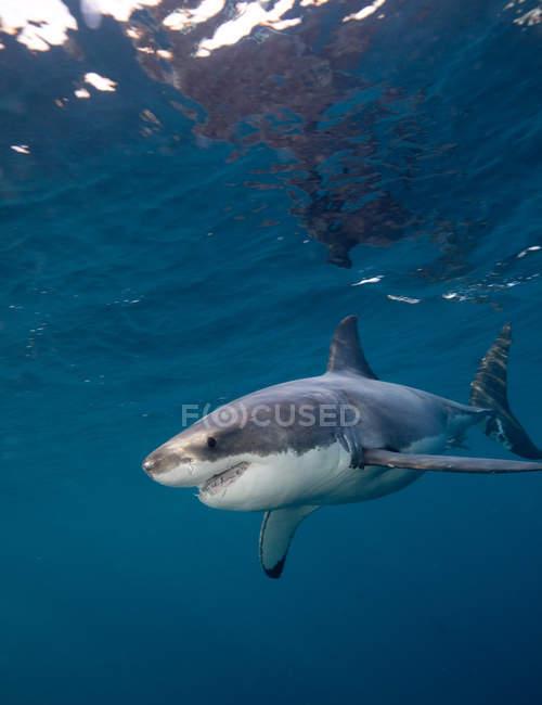Grand requin blanc nage sous l'eau — Photo de stock
