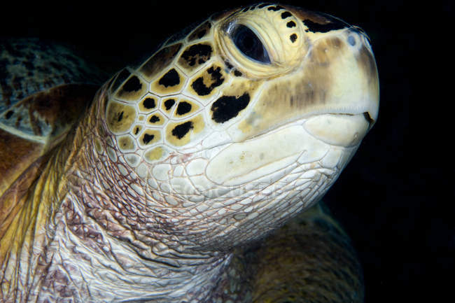 Close up shot of green turtle head — Stock Photo
