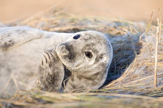 Cucciolo di foca grigia — Foto stock