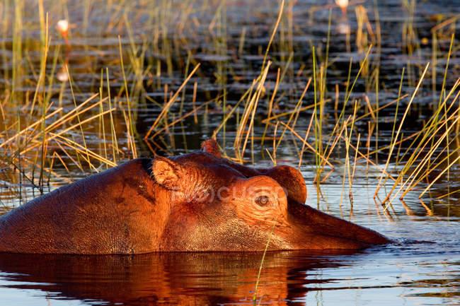 Flusspferd im Okavango-Delta in Botswana in Fluss versunken — Stockfoto