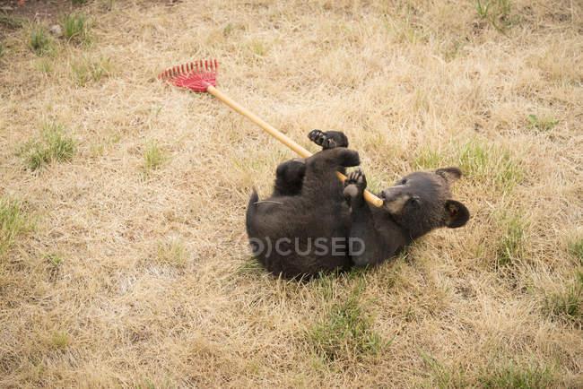 Urso filhote deitado nas costas, brincando com ancinho, Dakota do Sul, EUA — Fotografia de Stock