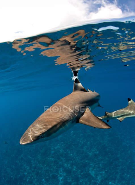 Seitenansicht eines Hais, der unter Wasser schwimmt — Stockfoto