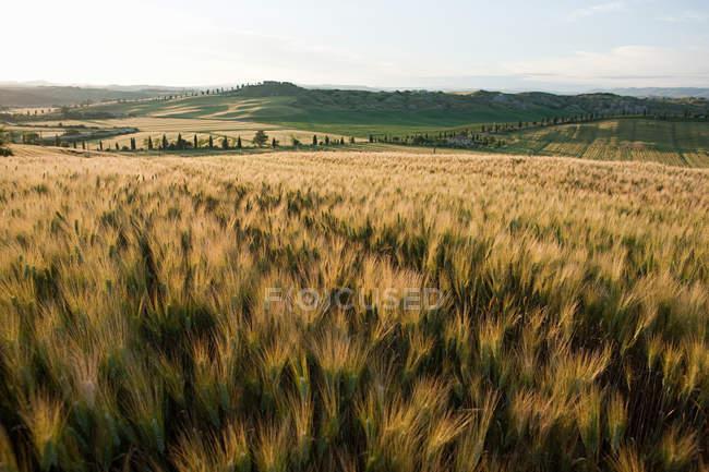 Campo de cevada na luz da noite perto de Siena — Fotografia de Stock