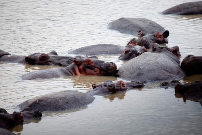 Flusspferdherde kühlt sich im See ab — Stockfoto