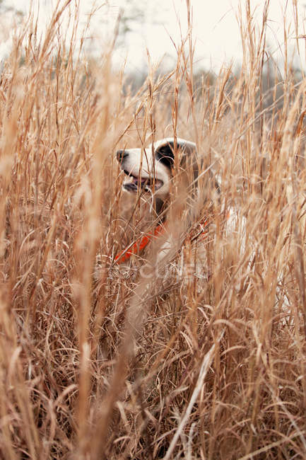English pointer dog in straw grass — стоковое фото