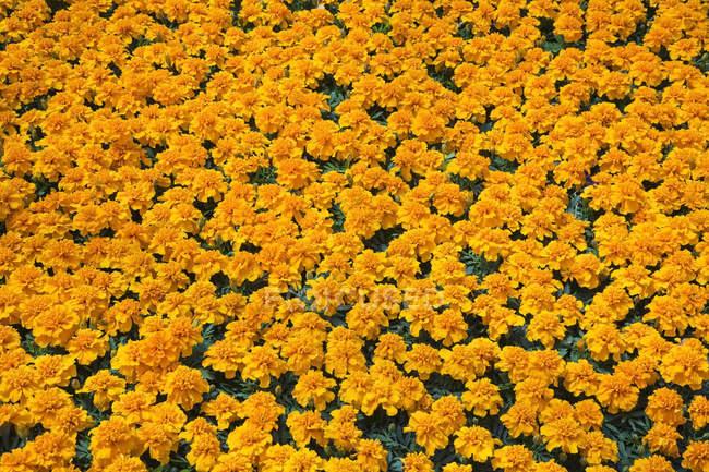 Оранжевые цветы ноготков — стоковое фото