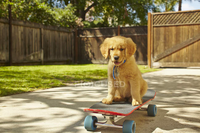 Chiot Labrador mignon assis sur skateboard sur la rue — Photo de stock