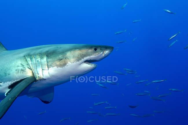 Great white shark — стоковое фото