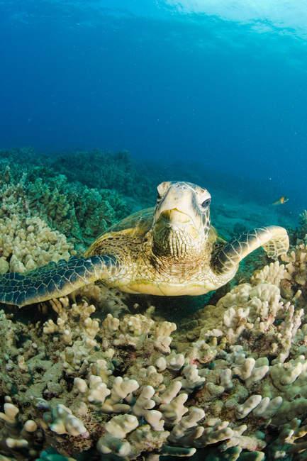 Tortuga marina en corrales - foto de stock