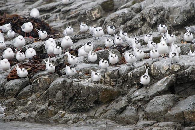 Kaikoura, terns sitting on rock in rain — Stock Photo
