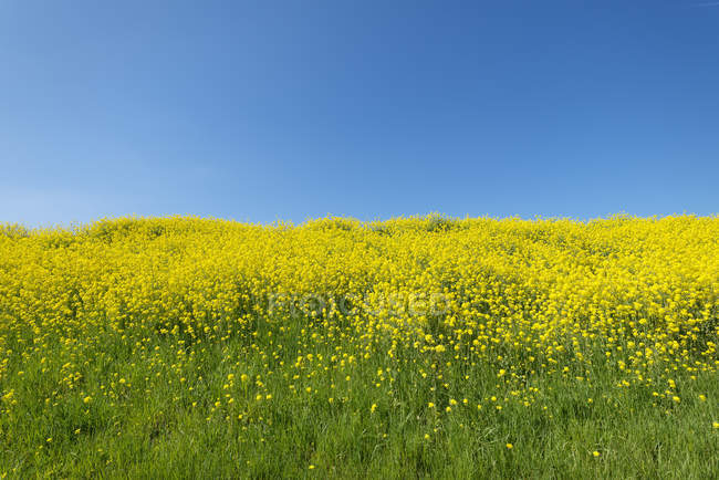 Blossoming rape on hill,  Zeewolde, Flevoland, Netherlands — Stock Photo