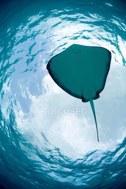 Manta ray nageant sous l'eau bleue — Photo de stock