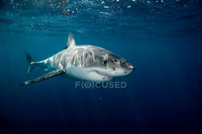 Grand requin blanc — Photo de stock