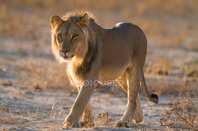 Лев ходьба в сонячному світлі, повна довжина — стокове фото