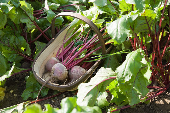 Fresh picked beetroots in wooden basket — Stock Photo