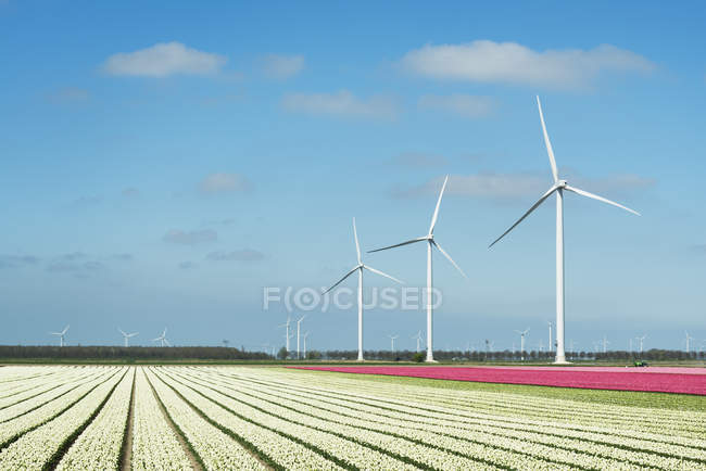 Rows of white and pink flower blooms and wind turbines — Stock Photo