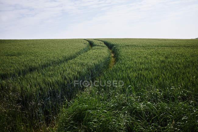 Campo di cereale verde con tracce sotto il cielo nuvoloso — Foto stock