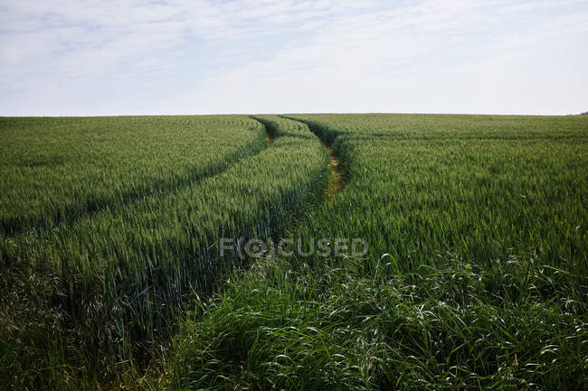 Green corn field with tracks under cloudy sky — Stock Photo