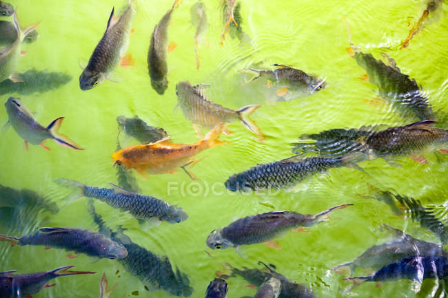 Overhead view of Fishes swimming in a pond — Stock Photo