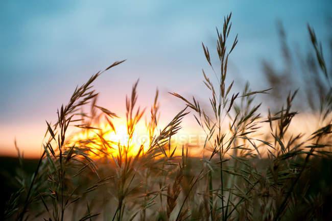 Schuss der Weizenpflanzen mit Sonnenuntergang Himmel hautnah — Stockfoto