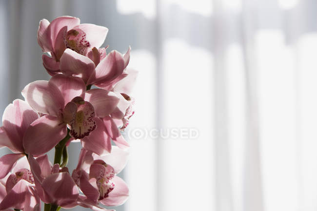 Pink orchid flowers in sunlight, close up shot — Stock Photo