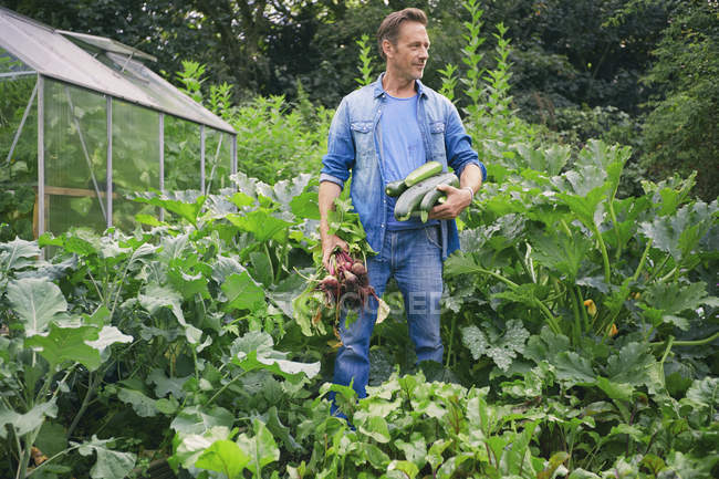 Man picking courgettes and beetroot on allotment — Stock Photo