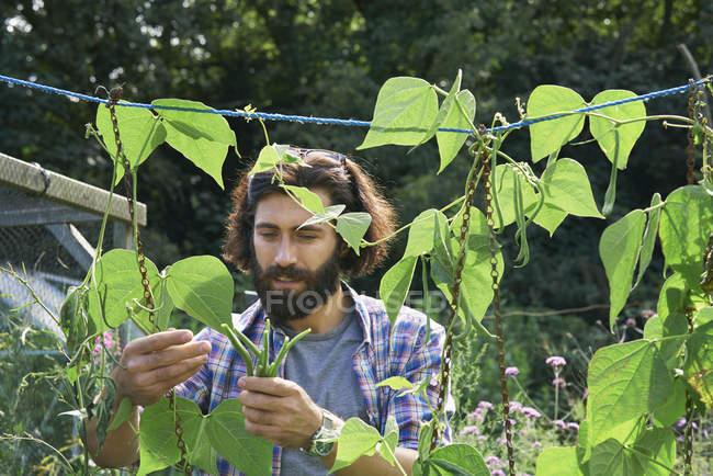 Середній дорослий чоловік збирає зелену квасолю. — стокове фото