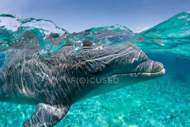 Atlantischer Tümmler, Unterwasserschuss — Stockfoto