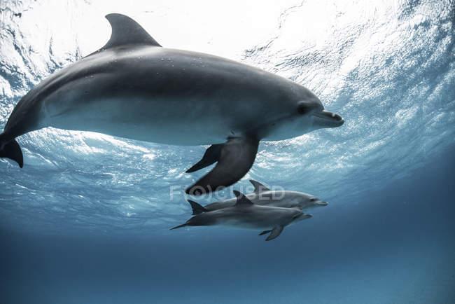 Dauphins tachetés de l'Atlantique nageant sous l'eau — Photo de stock