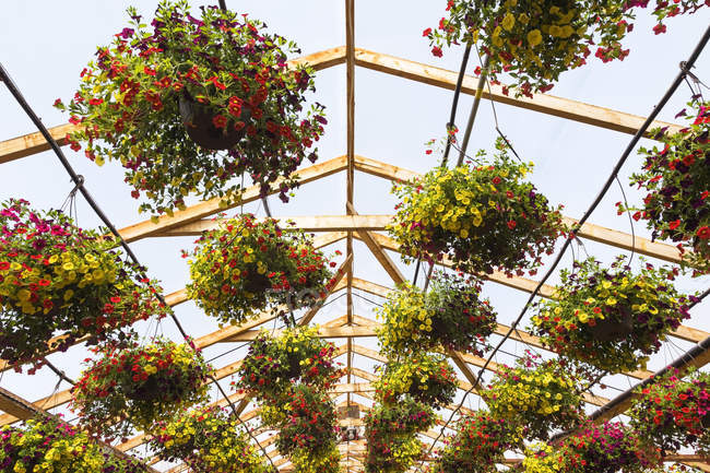 Wopoden framed commercial greenhouse with yellow and red flowers in hanging baskets being grown in containers for sale to distributors and the public in spring, Quebec, Canada — Stock Photo