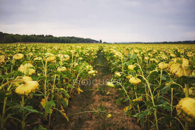 Footpath at sunflower field — Stock Photo