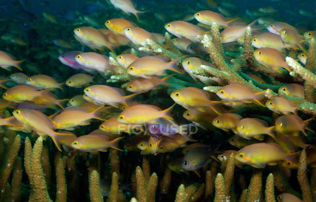 Escolarización anthias peces en el arrecife de coral - foto de stock
