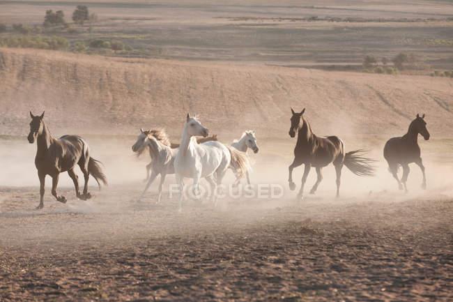 Cavalli in penna polverosa — Foto stock