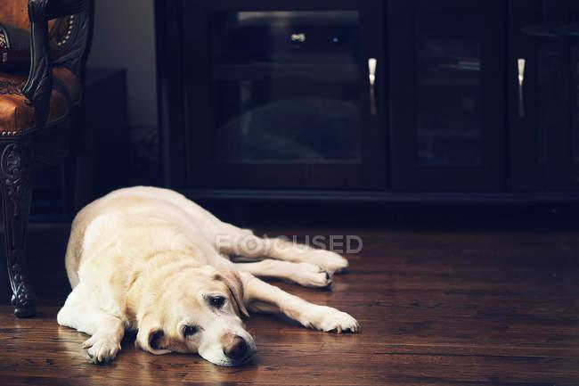 Labrador sdraiato sul pavimento — Foto stock