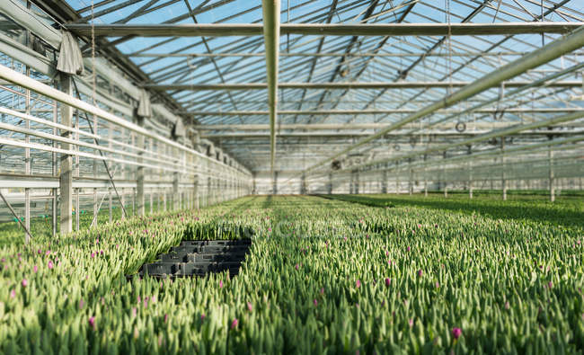 Tulips growing at greenhouse in bright sunlight — Stock Photo