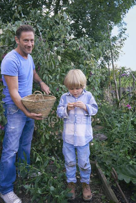 Отец и сын с собранными сливами на участке — стоковое фото