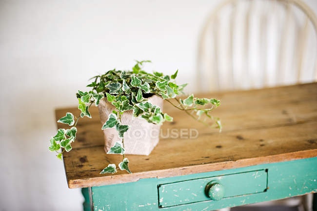 Ivy growing out of plant pot — Stock Photo