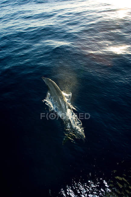 Dolphin leaping from water — Stock Photo