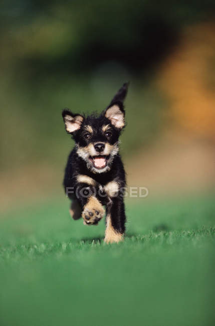Puppy running on green grass in sunlight — Stock Photo