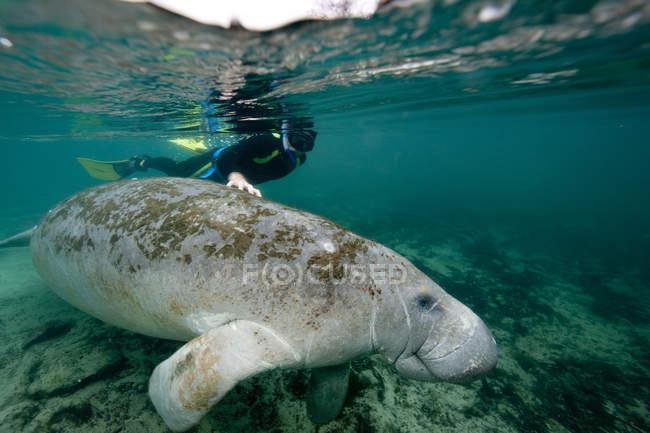 Nahaufnahme von Schnorchler mit Seekuh unter Wasser — Stockfoto