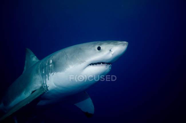 Grand requin blanc flottant sous l'eau — Photo de stock