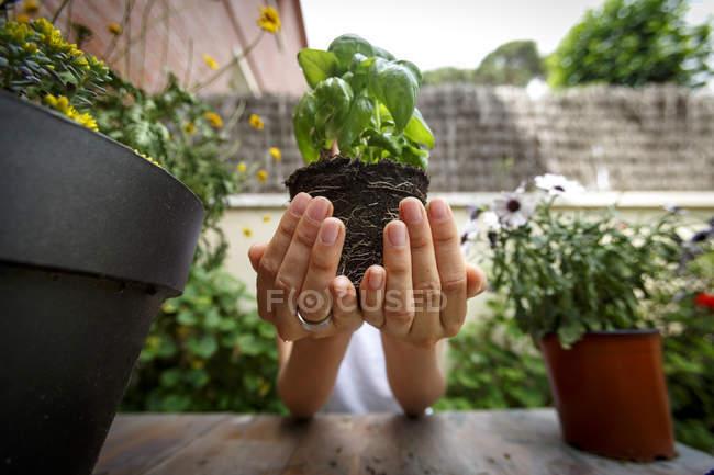 Mains coupées tenant une plante de basilic — Photo de stock