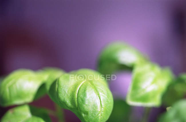 Green Basil leaves — Stock Photo